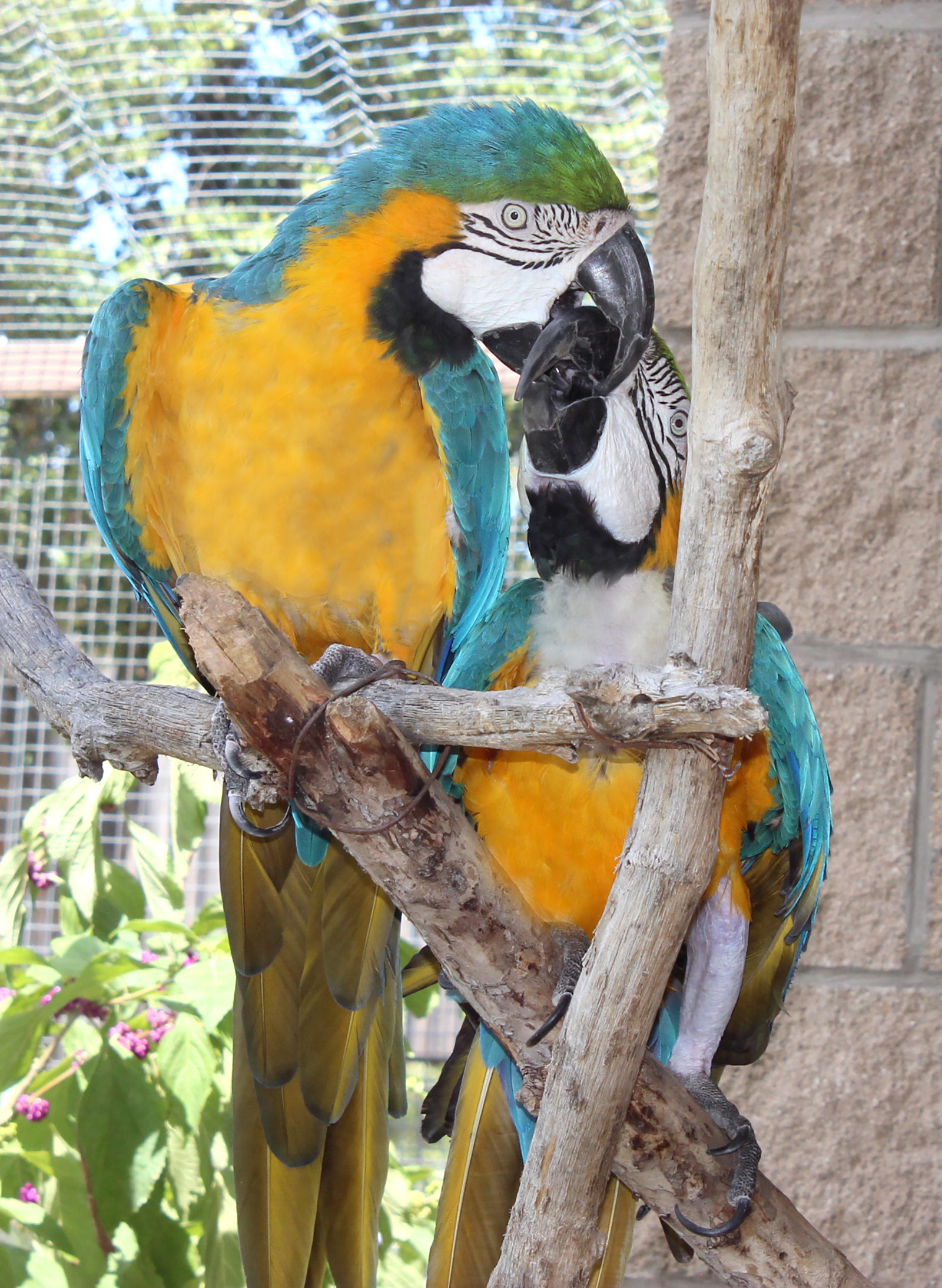 George and Millie B and G Macaw