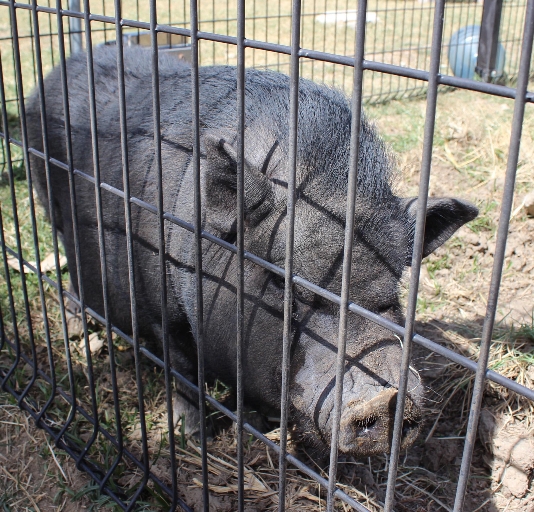 Hamlet VPB Pig