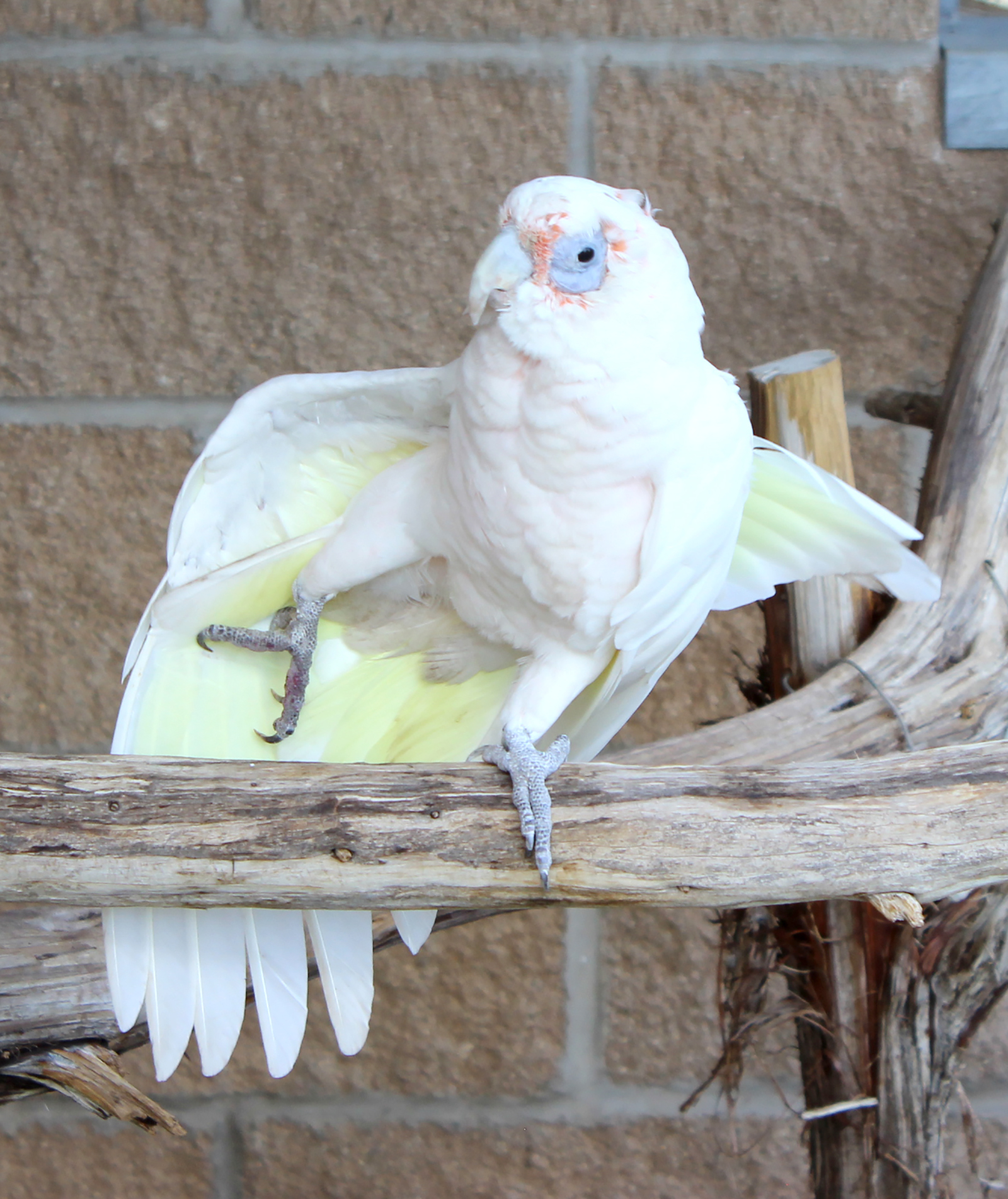 Hobo the Bare-Eyed Cockatoo