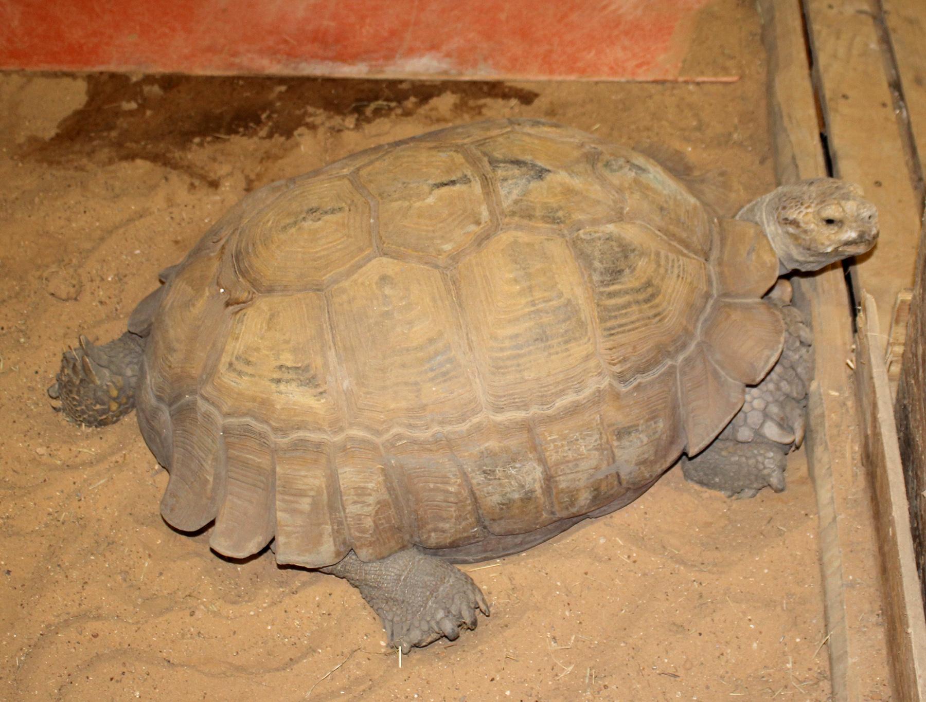 Ralph A S Tortoise