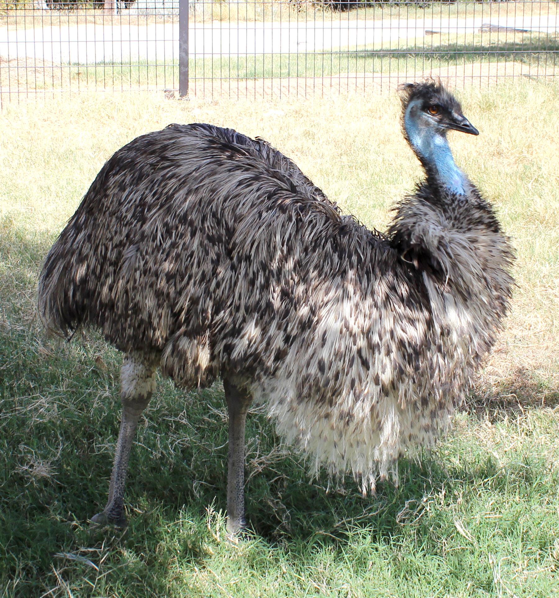 Ume the Emu