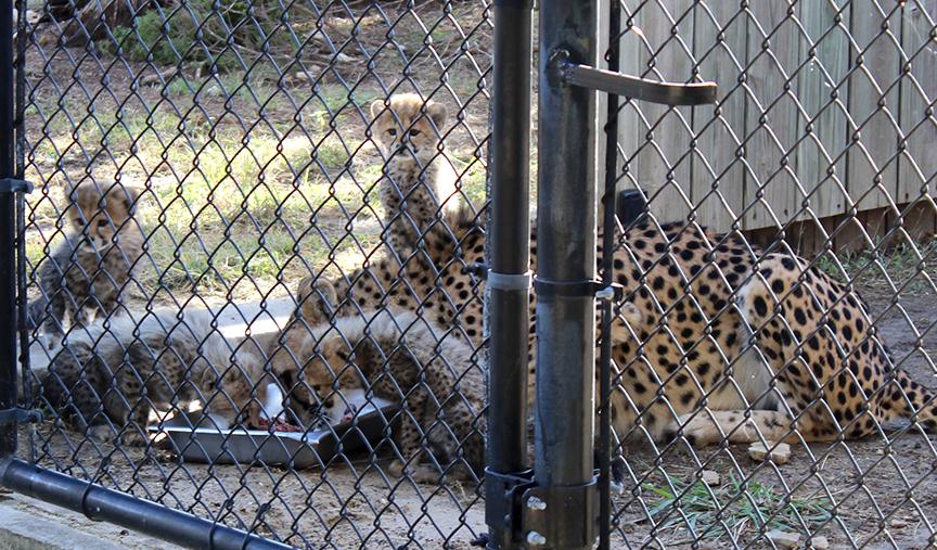 Asanti and cubs eating