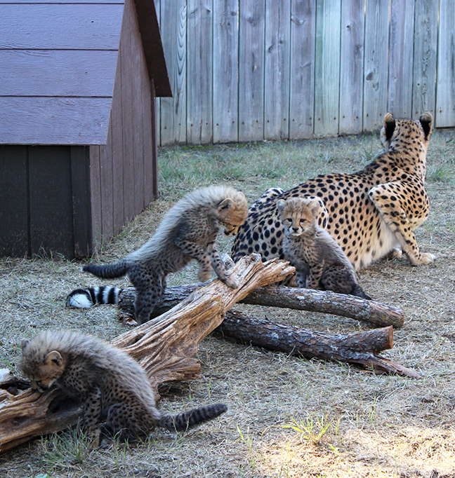 Asanti cubs playing