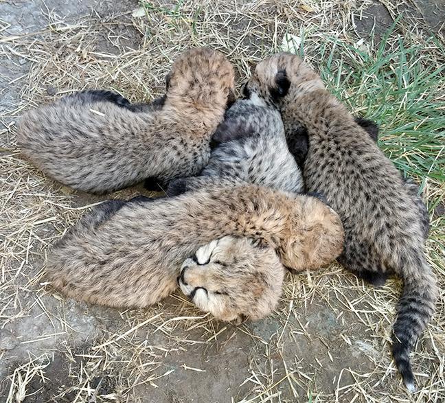 baby Asanti cubs