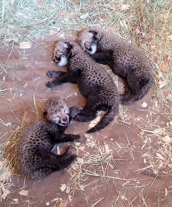 baby Gracie cubs