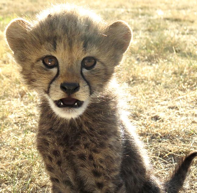 curious Gracie cub