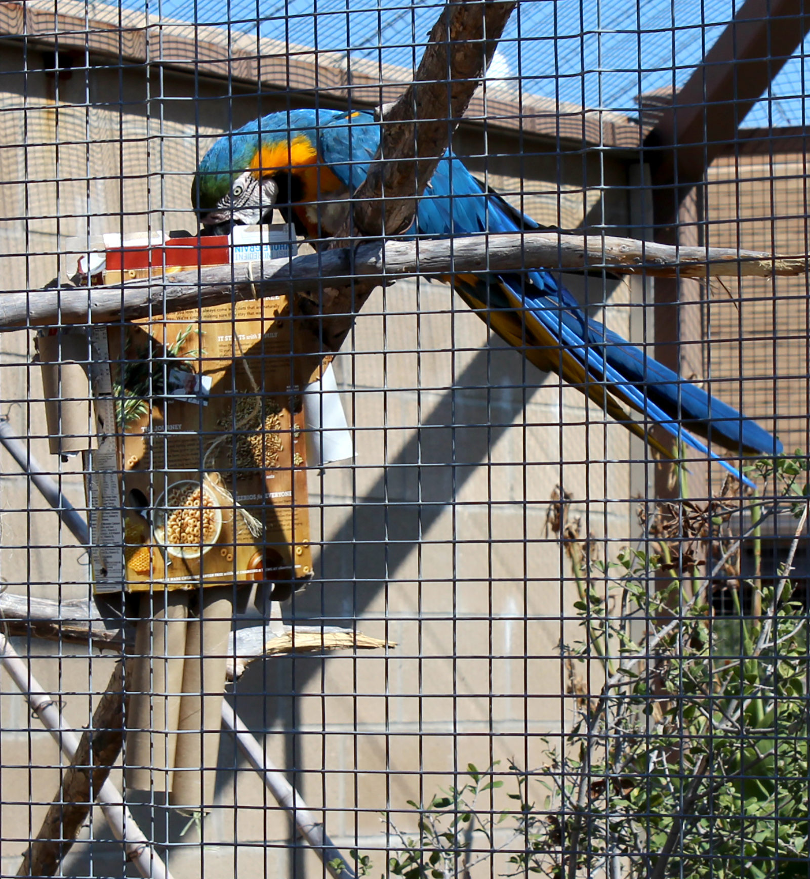 macaw plays with toy