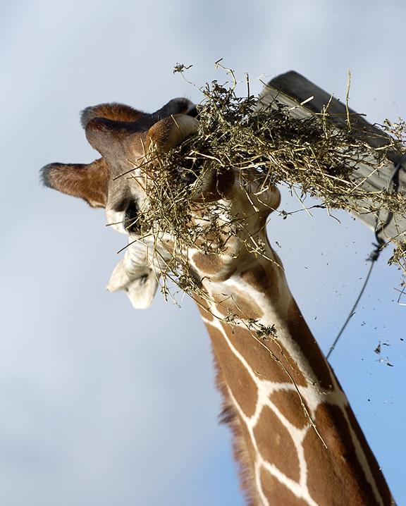 giraffe eats alfalfa