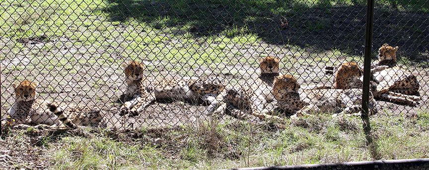 checking out cheetahs