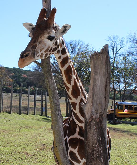 giraffe splits the limbs