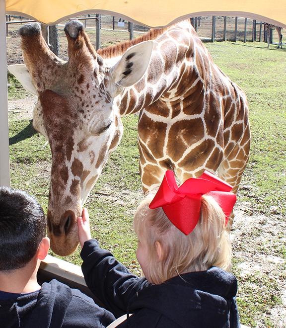 pet the giraffe