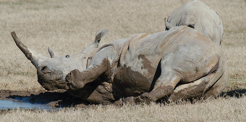 White rhino enjoying a mud wallow.