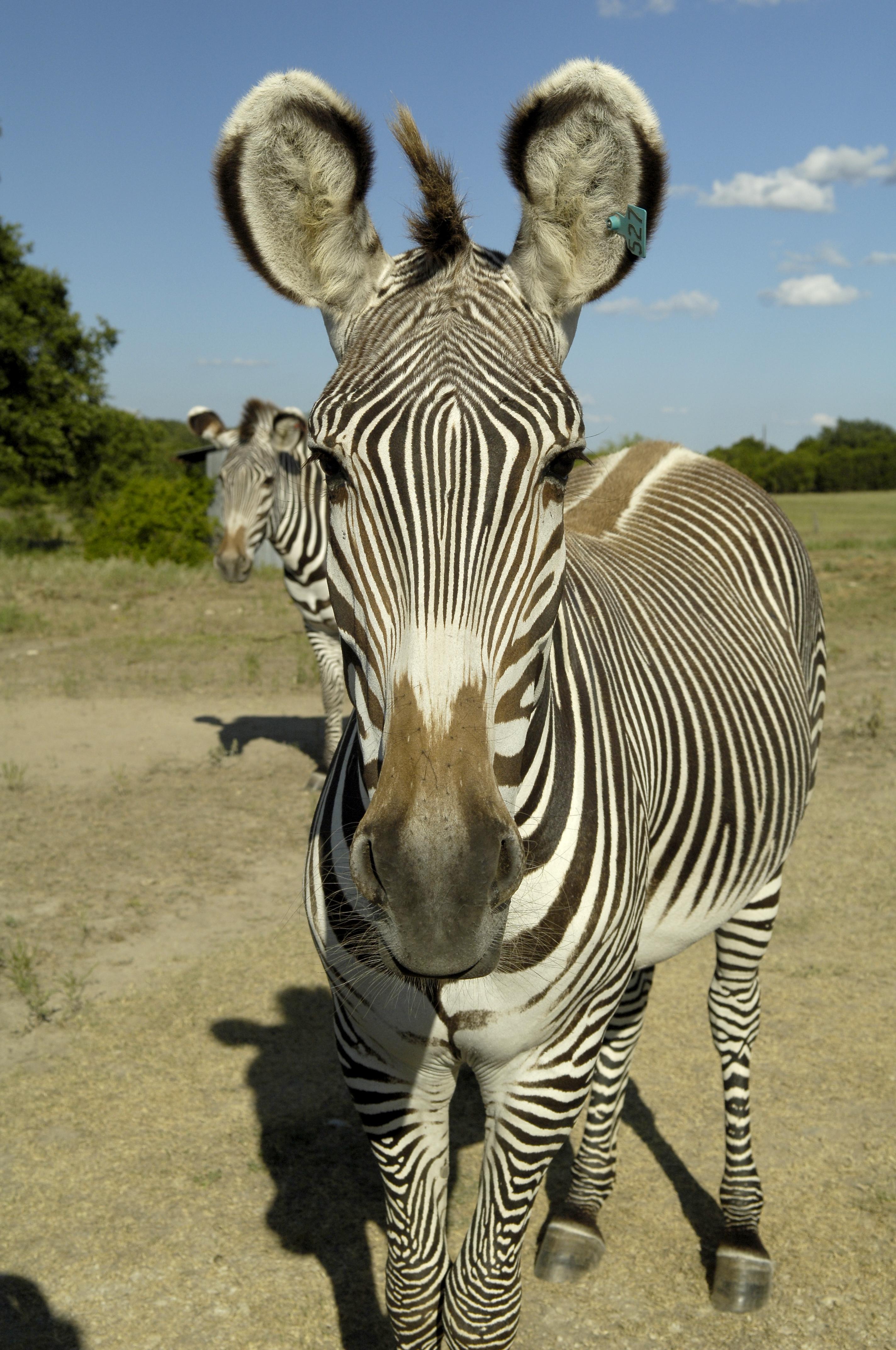 3 Grevys Zebra