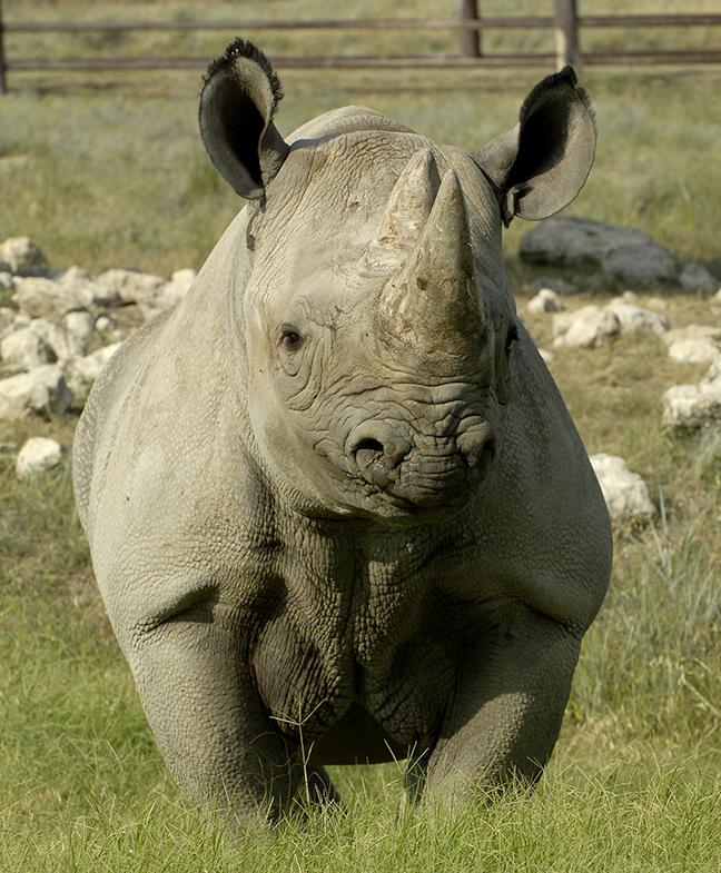6 Southern Black Rhino