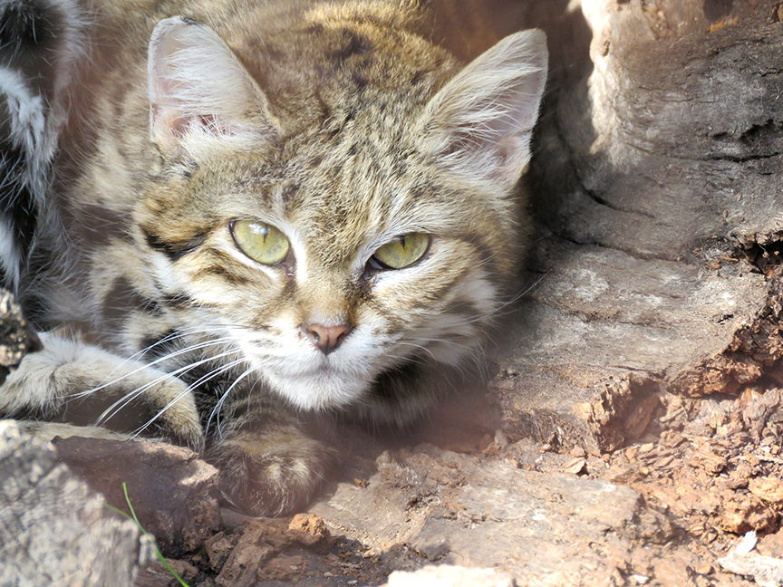 Black footed cat Dec 2015