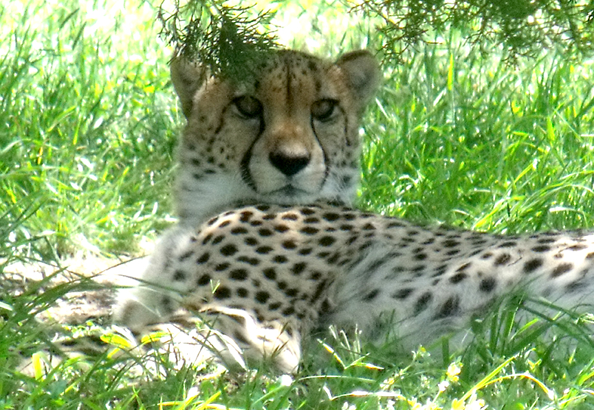 Cheetah April 2010