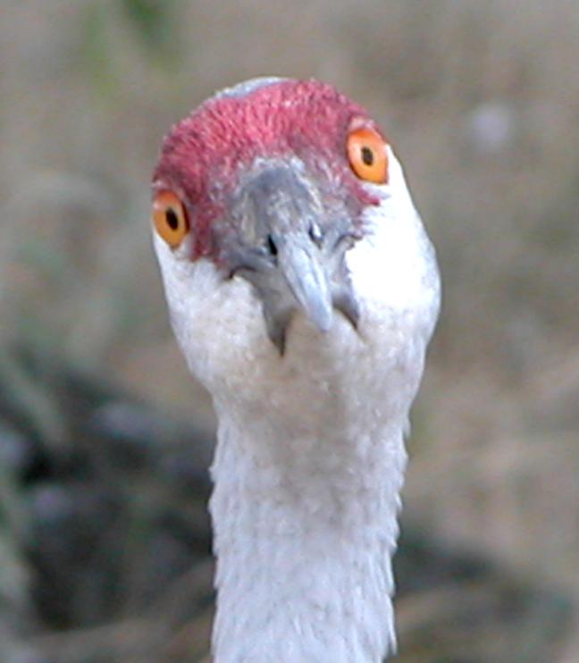 Sandhill crane Aug 2005