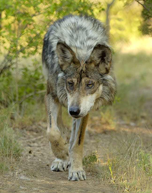 T7 Mexican Gray Wolf