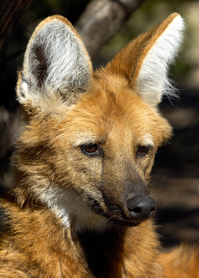 T9 Maned Wolf