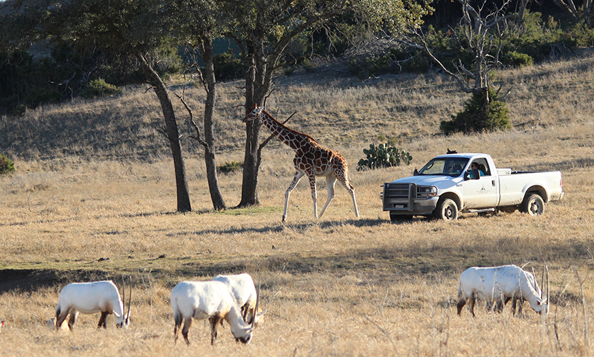 direct giraffe with Ar Oryx in front