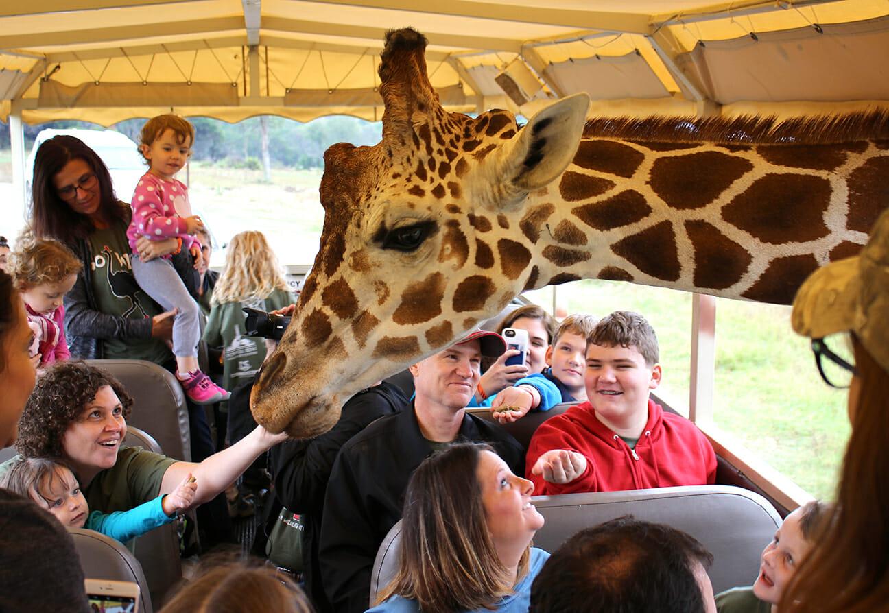 giraffe-feed-1