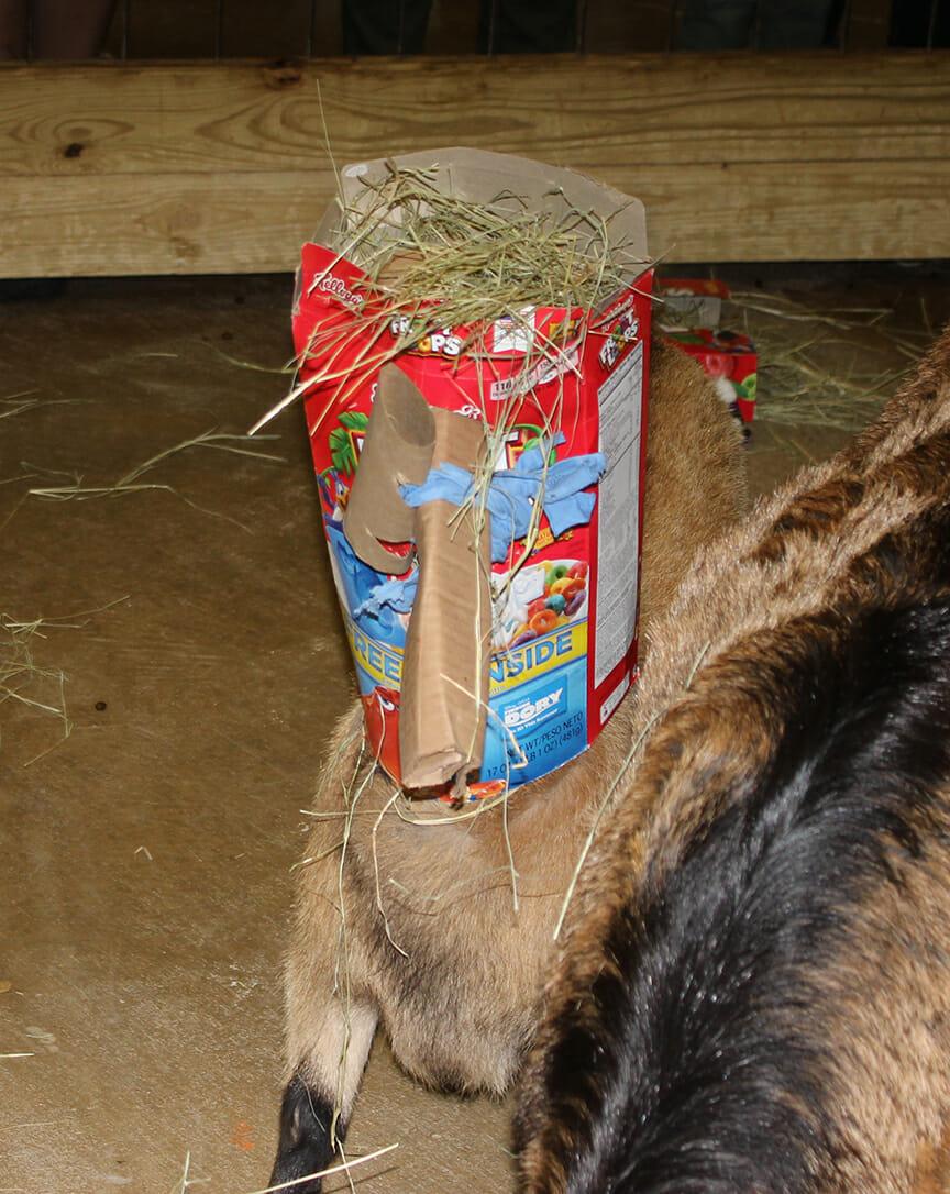 headless-goat