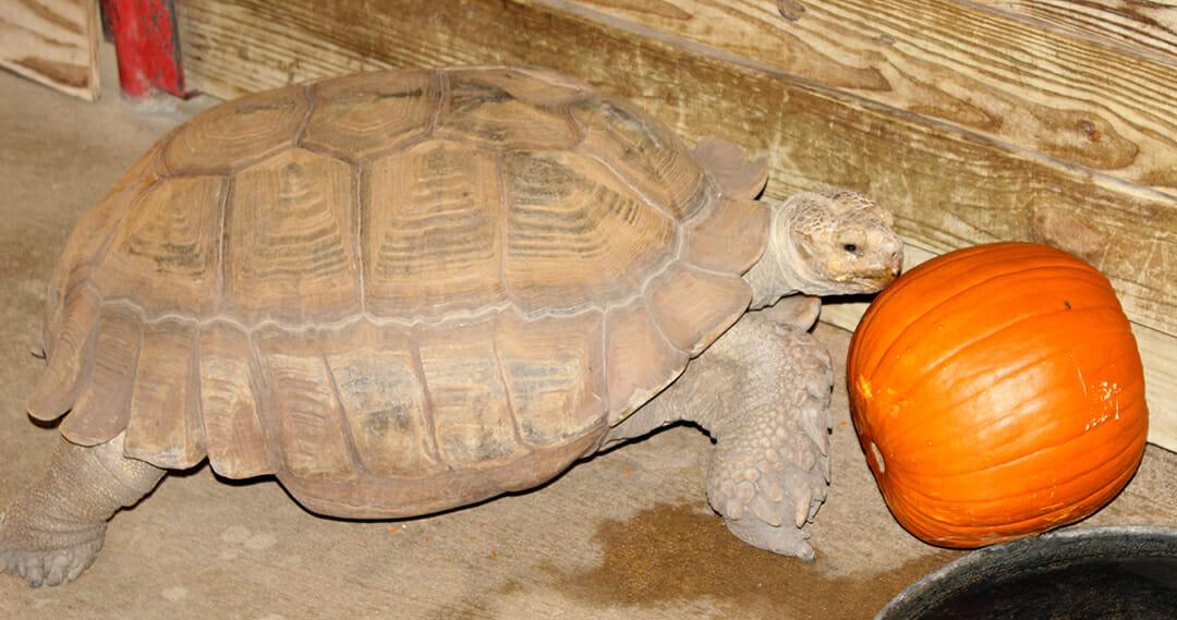 tortoise-pumpkin